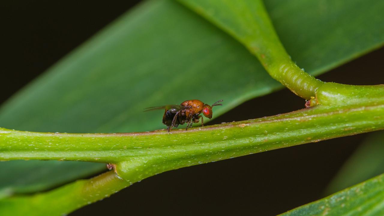 Trichilogaster acaciaelongifoliae