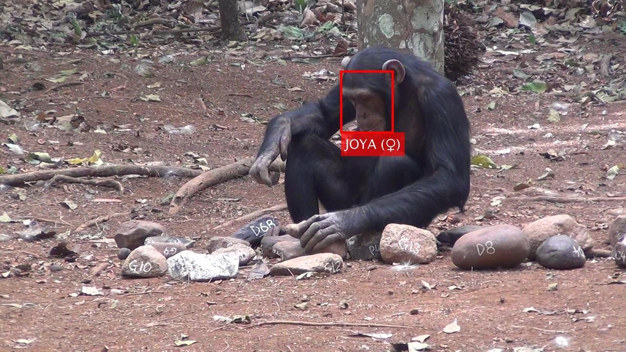 Reconhecimento facial de chimpanzés