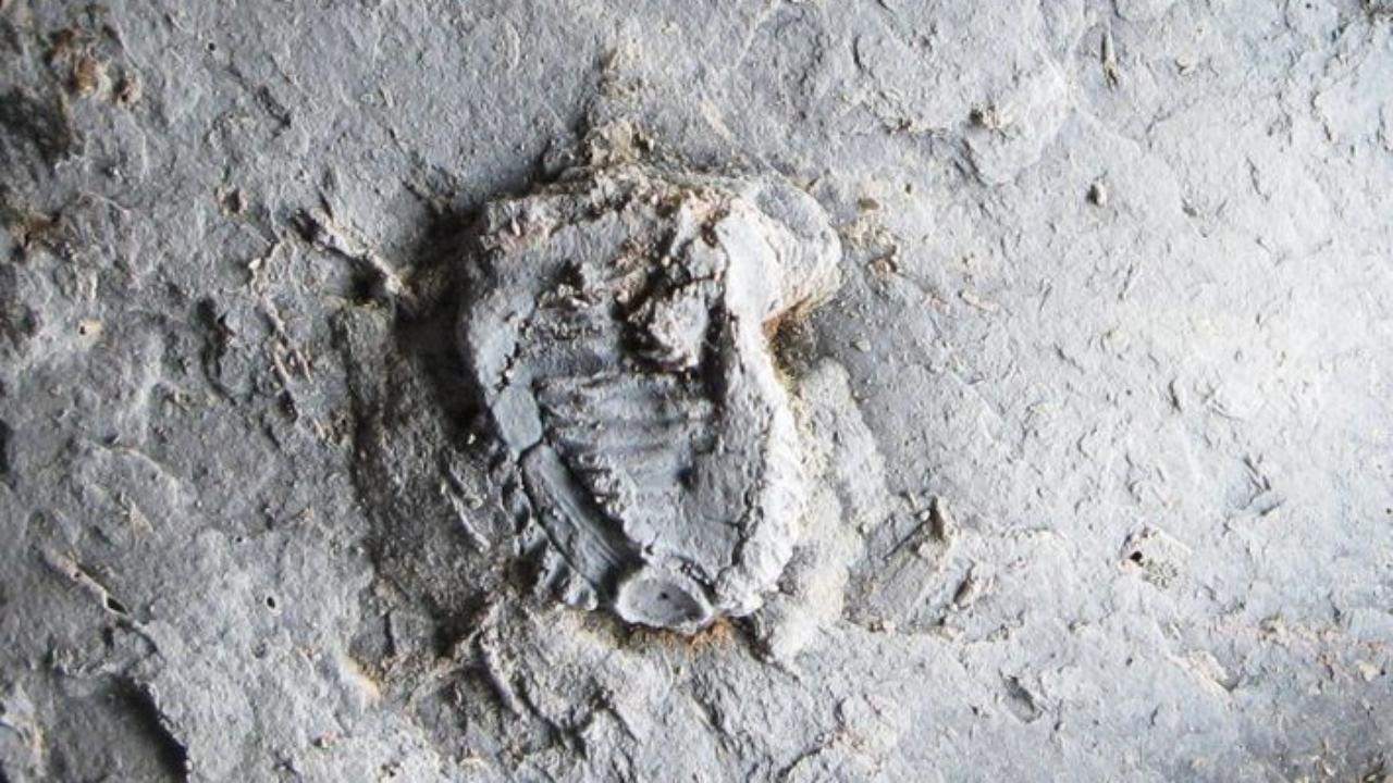 Tiaracrinus quadrifrons