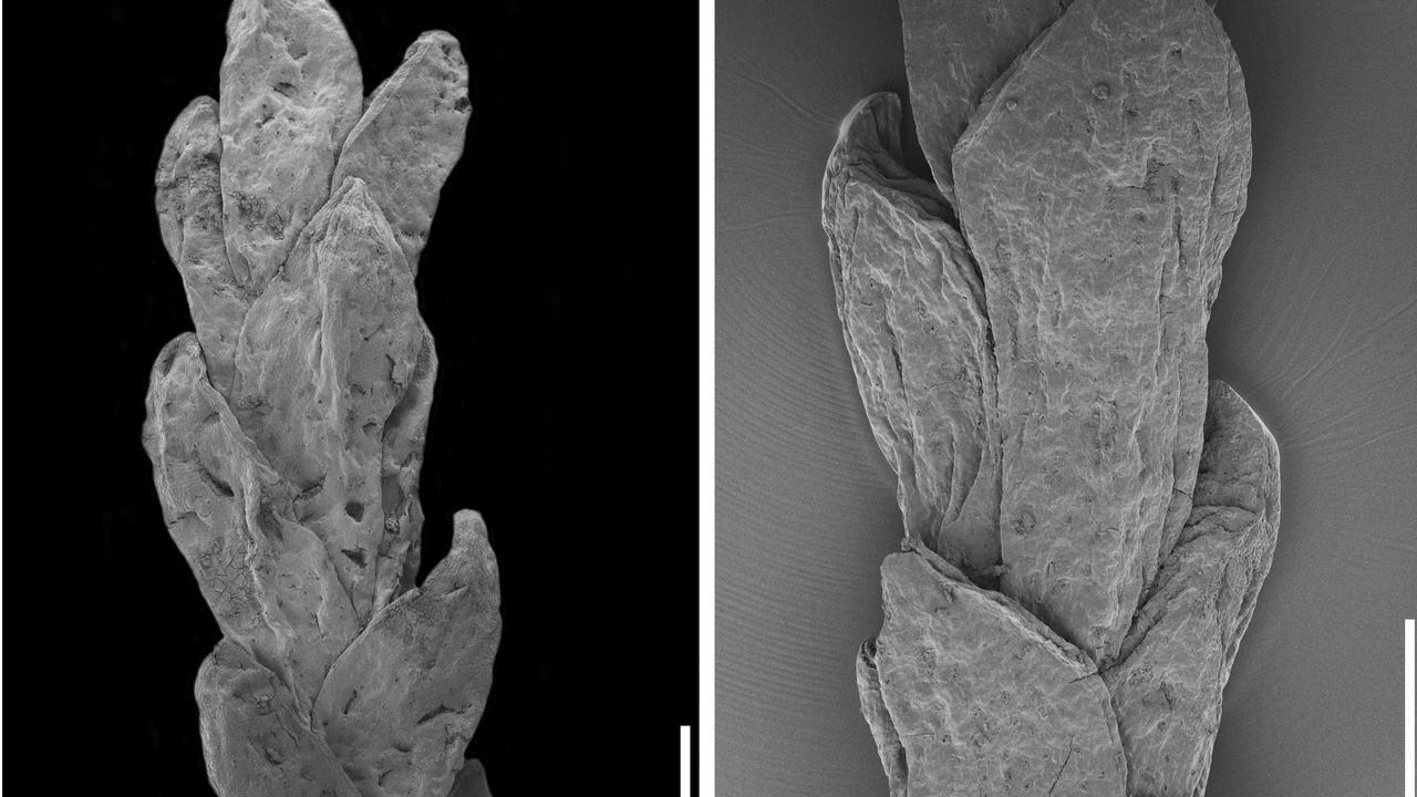 Imagens obtidas através de microscopia electrónica de varrimento da nova espécie