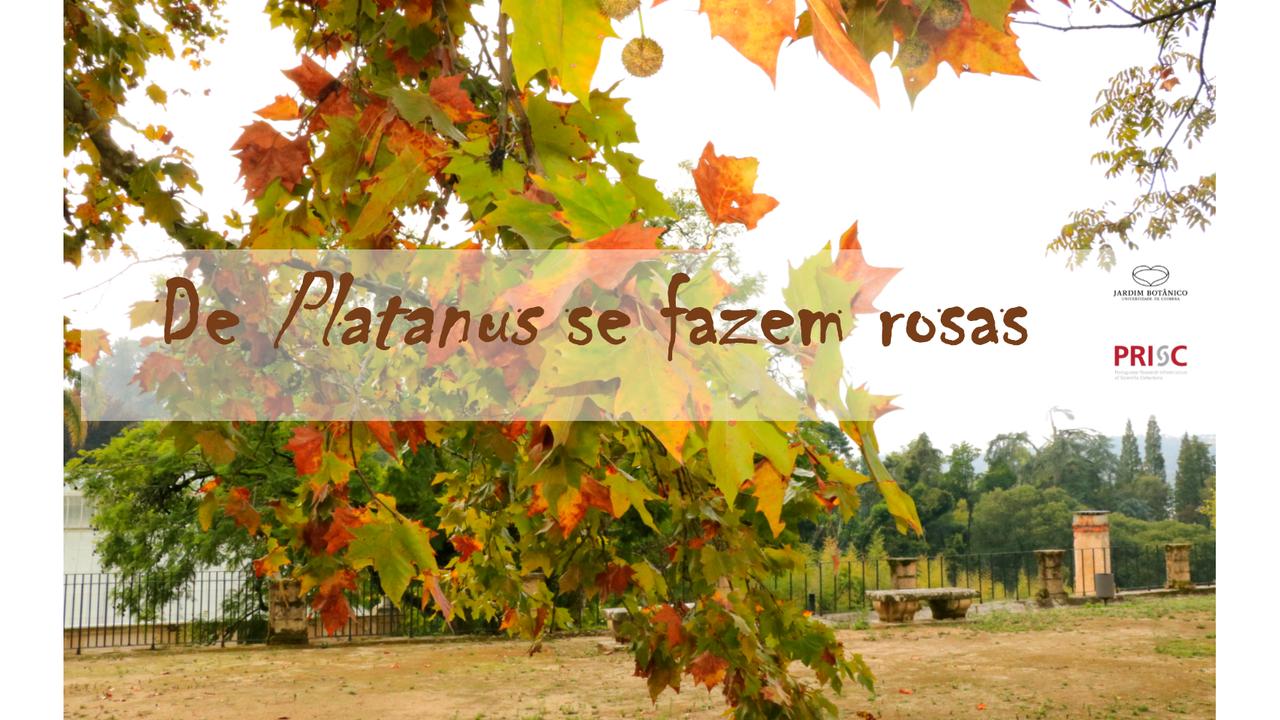 De Platanus se fazem rosas